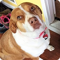 Adopt A Pet :: Izzy  Snugglebutt~meet me! - Glastonbury, CT