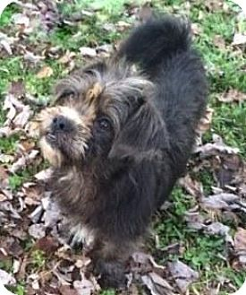 Yorkie, Yorkshire Terrier/Shih Tzu Mix Puppy for adoption in Lower Macungie Towns, Pennsylvania - Ross
