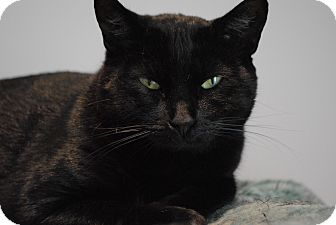 Domestic Shorthair Cat for adoption in Lafayette, New Jersey - Lunetta