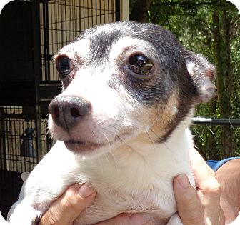Fox Terrier (Toy) Mix Dog for adoption in Crump, Tennessee - Angel