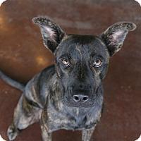 Adopt A Pet :: Shannon - San Antonio, TX