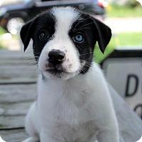 Adopt A Pet :: Cindy (Cinderella) - Grand Rapids, MI