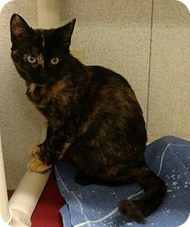 Domestic Shorthair Cat for adoption in Thompson Falls, Montana - Darcy