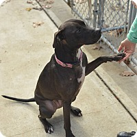 American Staffordshire Terrier/Labrador Retriever Mix Dog for adoption in Beacon, New York - Chloe