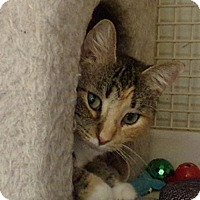 Domestic Shorthair Cat for adoption in St. Charles, Missouri - Flower (declawed) at PETCO
