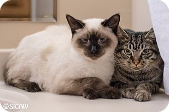 Domestic Shorthair Cat for adoption in Staten Island, New York - Sable and Bailey
