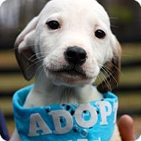 Adopt A Pet :: Calvin - West Grove, PA