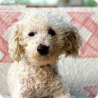 Poodle (Miniature) Mix Dog for adoption in Norfolk, Virginia - KALANI