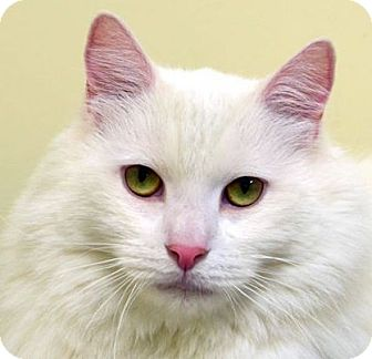 Domestic Longhair Cat for adoption in Norwalk, Connecticut - Chatham