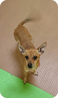 Chihuahua Dog for adoption in Akron, Ohio - Starlight PENDING