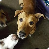 Adopt A Pet :: Drome - Pottsville, PA