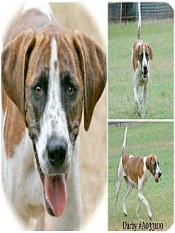 Plott Hound Mix Dog for adoption in Lufkin, Texas - Darby