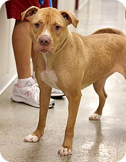 American Staffordshire Terrier Mix Dog for adoption in Springfield, Illinois - Hazel