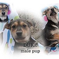 Adopt A Pet :: Duke - Spring Valley, NY