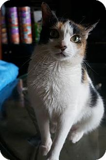 Domestic Shorthair Cat for adoption in New York, New York - Buttons
