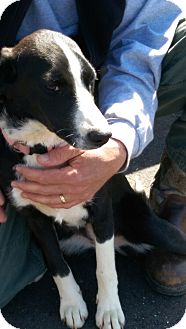Shepherd (Unknown Type) Mix Dog for adoption in Lexington, Tennessee - LUCY