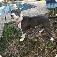 American Pit Bull Terrier Mix Dog for adoption in Conroe, Texas - Deja