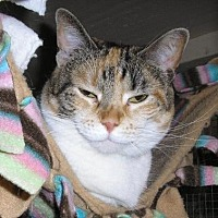 Calico Cat for adoption in Eldora, Iowa - Regan