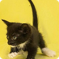 Domestic Shorthair Cat for adoption in Las Vegas, Nevada - Twilight