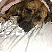 Adopt A Pet :: Ronda - Alamosa, CO