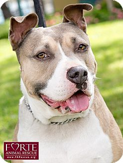 American Bulldog Mix Dog for adoption in Marina del Rey, California - Lulu