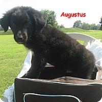 Adopt A Pet :: Augustus - Glastonbury, CT