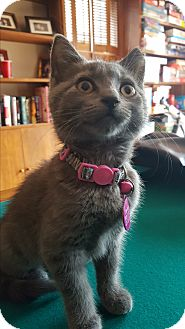 Domestic Shorthair Kitten for adoption in East Windsor, New Jersey - Gypsy
