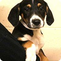 Adopt A Pet :: Sticklette~meet me~ - Glastonbury, CT