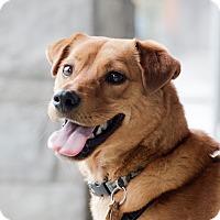 Basenji Mix Dog for adoption in Vancouver, Washington - Chewbacca