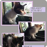 Calico Kitten for adoption in CLEVELAND, Ohio - Kyra