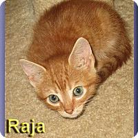 Adopt A Pet :: Raja - Aldie, VA