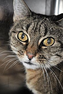 Domestic Shorthair Cat for adoption in Sterling, Massachusetts - Queenie