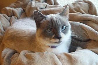 Siamese Cat for adoption in Montello, Wisconsin - Bella