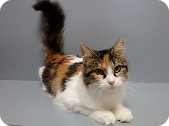 Domestic Longhair Cat for adoption in Seguin, Texas - Precious