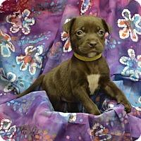 Adopt A Pet :: Hershey (Chocolate Crew) - Alexandria, VA
