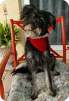 Australian Terrier/Standard Schnauzer Mix Dog for adoption in Davie, Florida - Wyatt