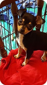 Chihuahua Mix Puppy for adoption in Alexandria, Virginia - Plaid