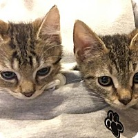 Adopt A Pet :: Kittens - Ozzie & Luna availlable 12/3 - Ashland, MA