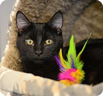 Domestic Shorthair Cat for adoption in Gardnerville, Nevada - Felix