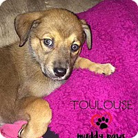 Adopt A Pet :: Toulouse (Lucy) - Pending Adoption - Council Bluffs, IA