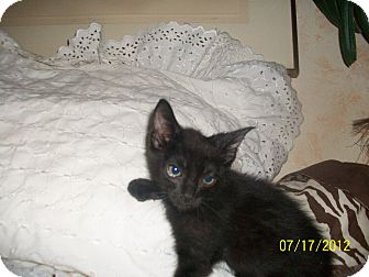 Domestic Shorthair Kitten for adoption in Palm Springs, California - Gilbert
