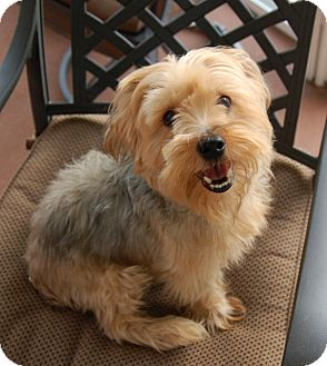 yorkie for adoption in nc kobe adopted dog charlotte nc yorkie yorkshire terrier 3780