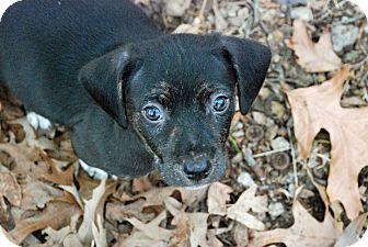 Beagle Puppy for adoption in Greensboro, Georgia - 2 Shakespearean Fairies