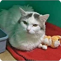 Turkish Van Cat for adoption in Secaucus, New Jersey - Emilene