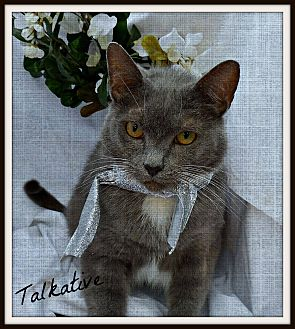 Russian Blue Cat for adoption in Ocean Springs, Mississippi - Clark Gable