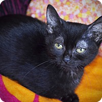 Adopt A Pet :: Violet - Xenia, OH