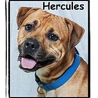 Adopt A Pet :: Hercules - Warren, PA