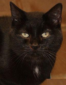 Domestic Shorthair Cat for adoption in Savannah, Missouri - Bobbie