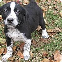 Adopt A Pet :: Maxim - Bedminster, NJ