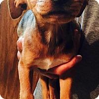 Adopt A Pet :: Bree - Dumfries, VA